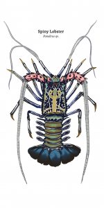 03_spiny_lobster_II_wt