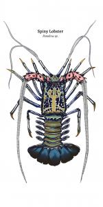 03_spiny_lobster_II_wt
