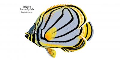 10_Meyers_Butterflyfish